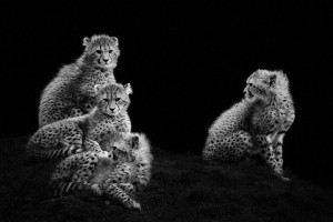 Cheetah-Mysterious Beauty Of Animals Captured In Striking Portraits-15