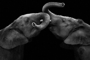 Elephants-Mysterious Beauty Of Animals Captured In Striking Portraits-17