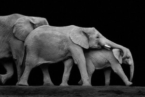 Elephants-Mysterious Beauty Of Animals Captured In Striking Portraits-18