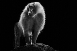 Baboons- Mysterious Beauty Of Animals Captured In Striking Portraits-2