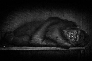 Gorillas-Mysterious Beauty Of Animals Captured In Striking Portraits-21