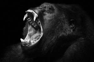Gorillas-Mysterious Beauty Of Animals Captured In Striking Portraits-22