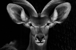 Antelopes-Mysterious Beauty Of Animals Captured In Striking Portraits-27