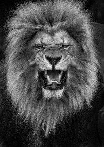 Lions-Mysterious Beauty Of Animals Captured In Striking Portraits-31