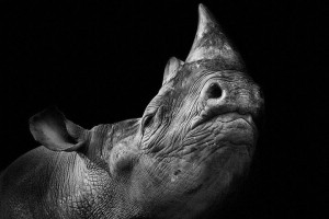 Rhinos-Mysterious Beauty Of Animals Captured In Striking Portraits-40
