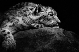 Snow Leopards-Mysterious Beauty Of Animals Captured In Striking Portraits-41