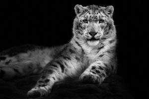 Snow Leopards-Mysterious Beauty Of Animals Captured In Striking Portraits-42