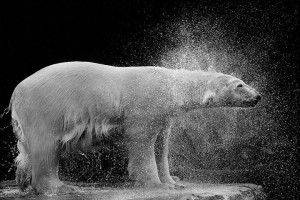 Bears-Mysterious Beauty Of Animals Captured In Striking Portraits-6