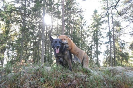 The Tender Moments From The Lovely Friendship Between A Dog And A Fox-