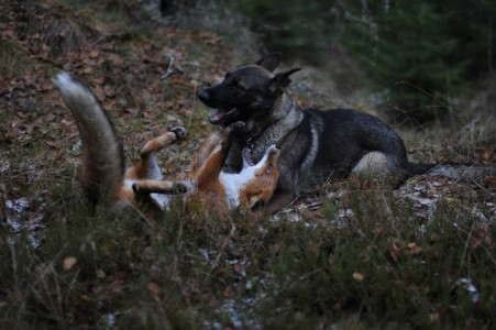 The Tender Moments From The Lovely Friendship Between A Dog And A Fox-1