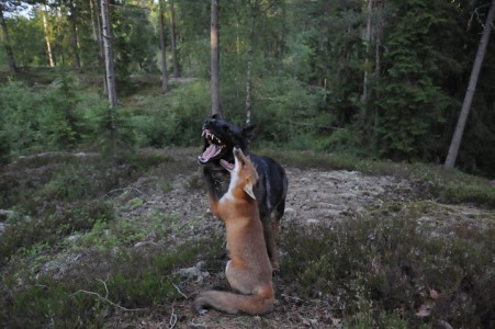 The Tender Moments From The Lovely Friendship Between A Dog And A Fox-11