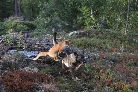 The Tender Moments From The Lovely Friendship Between A Dog And A Fox-12