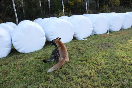 The Tender Moments From The Lovely Friendship Between A Dog And A Fox-13