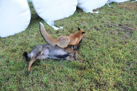 The Tender Moments From The Lovely Friendship Between A Dog And A Fox-15