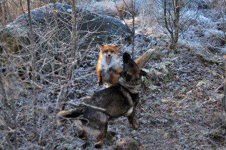 The Tender Moments From The Lovely Friendship Between A Dog And A Fox-16