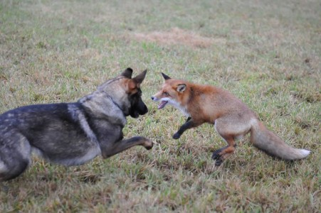 The Tender Moments From The Lovely Friendship Between A Dog And A Fox-17