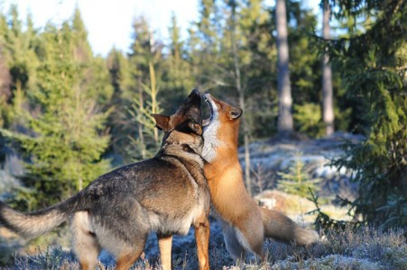 The Tender Moments From The Lovely Friendship Between A Dog And A Fox-19