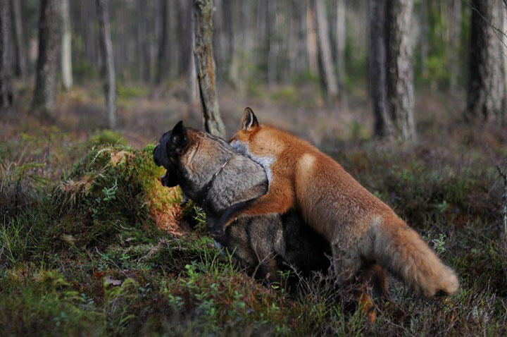 The Tender Moments From The Lovely Friendship Between A Dog And A Fox-2