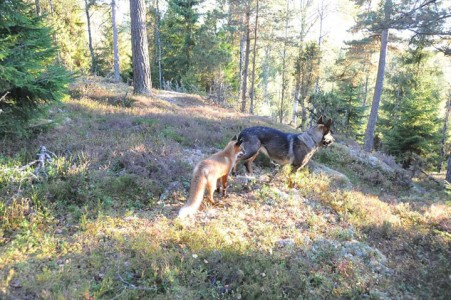 The Tender Moments From The Lovely Friendship Between A Dog And A Fox-3