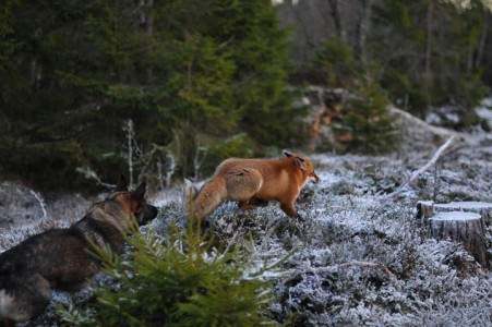 The Tender Moments From The Lovely Friendship Between A Dog And A Fox-5
