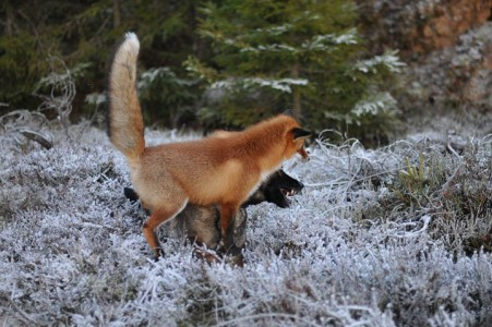 The Tender Moments From The Lovely Friendship Between A Dog And A Fox-7