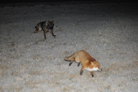 The Tender Moments From The Lovely Friendship Between A Dog And A Fox-8