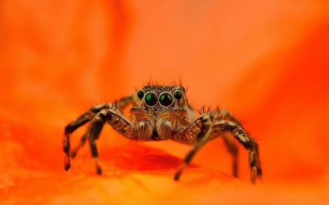 Discover the Beauty Of Spiders Through Microscopic Photographs-3
