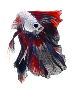 Discover The Sublime Beauty In The Dance Of Siamese Fighting Fish-1