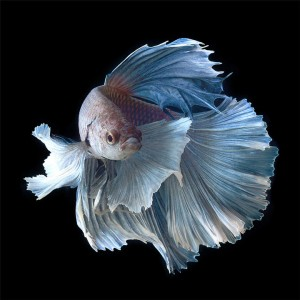 Discover The Sublime Beauty In The Dance Of Siamese Fighting Fish-11