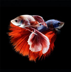 Discover The Sublime Beauty In The Dance Of Siamese Fighting Fish-13