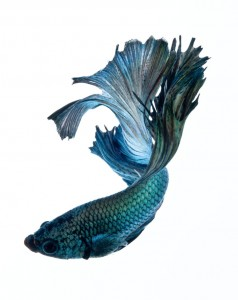 Discover The Sublime Beauty In The Dance Of Siamese Fighting Fish-14