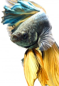 Discover The Sublime Beauty In The Dance Of Siamese Fighting Fish-16