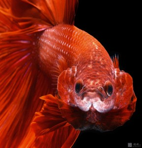 Discover The Sublime Beauty In The Dance Of Siamese Fighting Fish-17