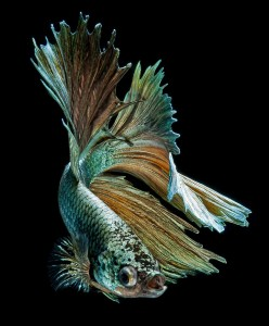 Discover The Sublime Beauty In The Dance Of Siamese Fighting Fish-19