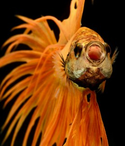 Discover The Sublime Beauty In The Dance Of Siamese Fighting Fish-4