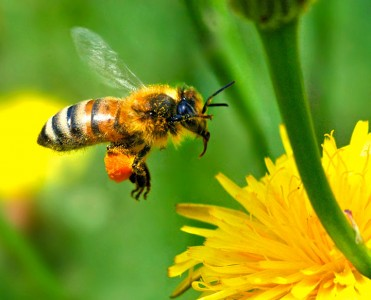 Scientists Respond To The Threat Of Disappearing Bees By Making Insect Robots For Cross Pollination -2