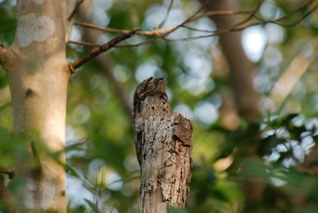 Discover Potoo, Only Bird That Can Camouflage Itself As A Branch-