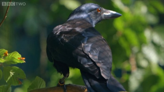 Raven Has A Remarkable Brain Capable Of Solving Complex Puzzles In 8 Steps-