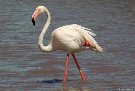 World's Oldest Living Flamingo Dies Aged 83 years, Adelaide, Australia-3