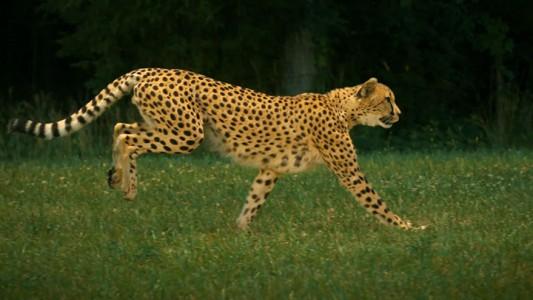 Admire The Elegant Beauty Of Cheetah Running At Full Speed -