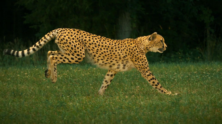 Admire The Elegant Beauty Of Cheetah Running At Full Speed -