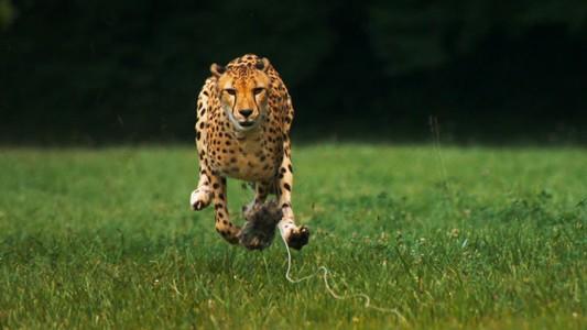 Admire The Elegant Beauty Of Cheetah Running At Full Speed -1
