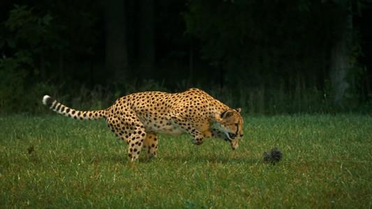 Admire The Elegant Beauty Of Cheetah Running At Full Speed -2