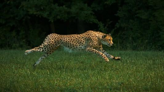 Admire The Elegant Beauty Of Cheetah Running At Full Speed -3