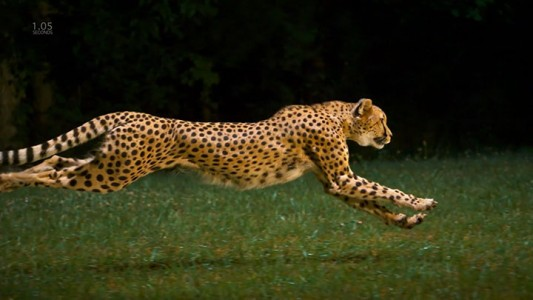 Admire The Elegant Beauty Of Cheetah Running At Full Speed -4