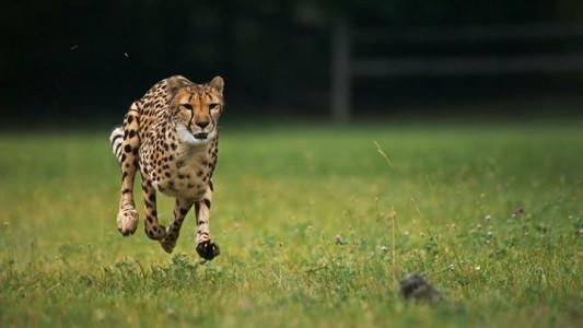 Admire The Elegant Beauty Of Cheetah Running At Full Speed -5