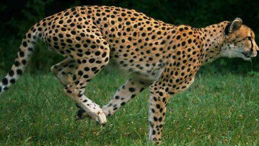 Admire The Elegant Beauty Of Cheetah Running At Full Speed -8
