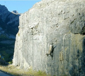 Top 12 Mountain Goats In A Miserable Position While Climbing A Cliff-
