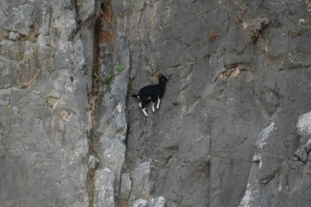 Top 12 Mountain Goats In A Miserable Position While Climbing A Cliff-5