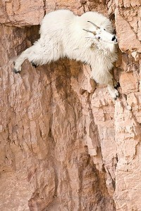 Top 12 Mountain Goats In A Miserable Position While Climbing A Cliff-6